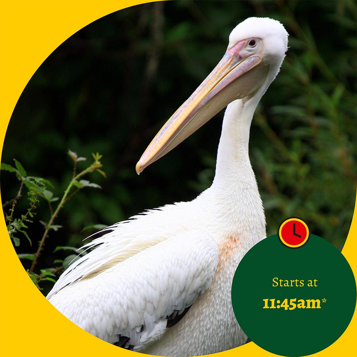 feeding-pelican-event